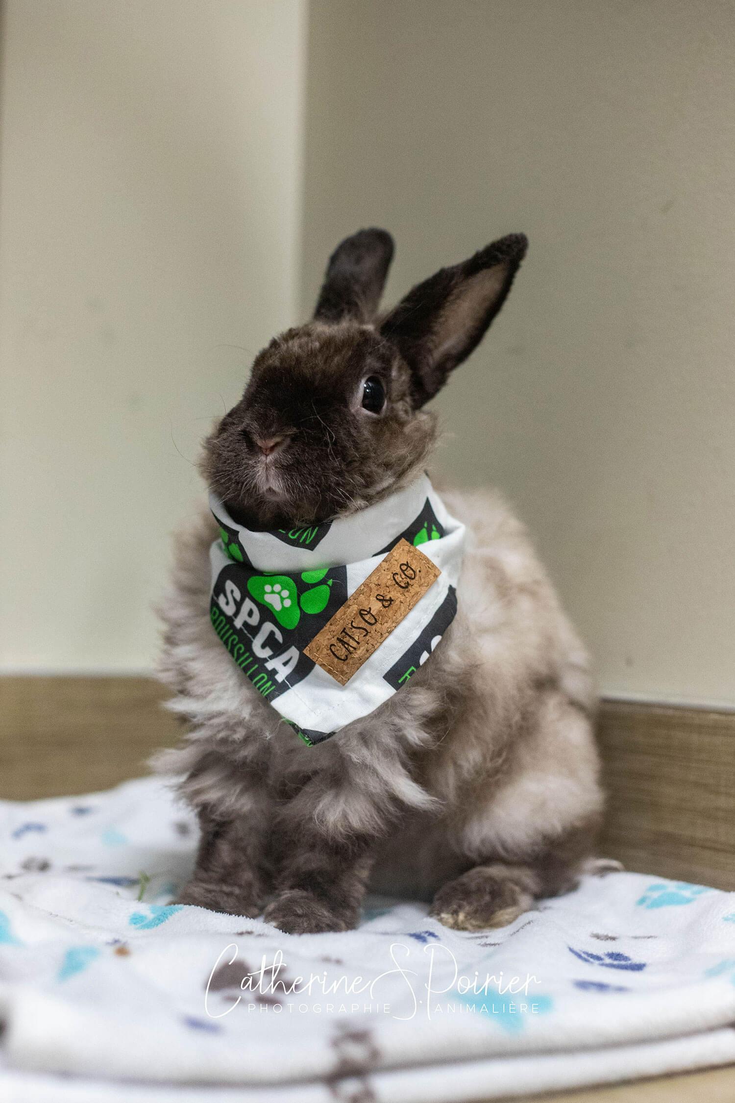 Chouchou lapin adoption
